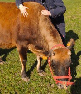 ostéopathie vache